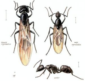 Naperville Carpenter Ants